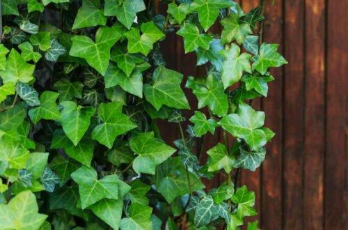 Вечнозеленая лиана вместо живой изгороди — эффект потрясающий