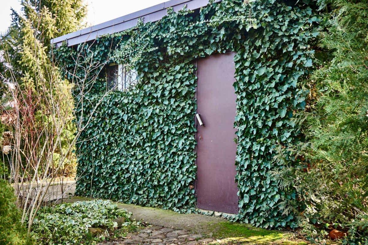 вечнозеленый плющ на доме-1