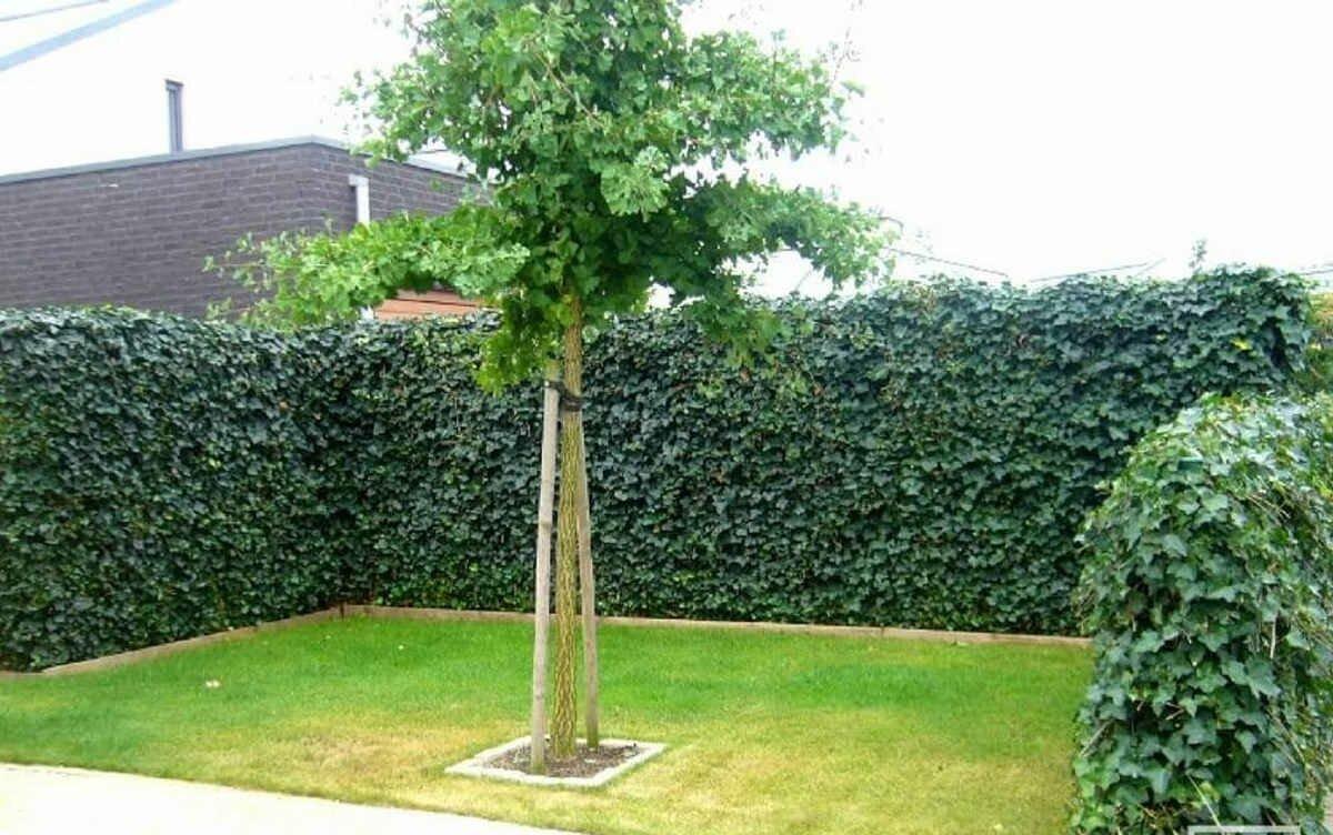 Вечнозеленый плющ обыкновенный в саду